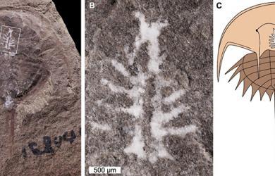 Hóa thạch 310 triệu năm của cua móng ngựa